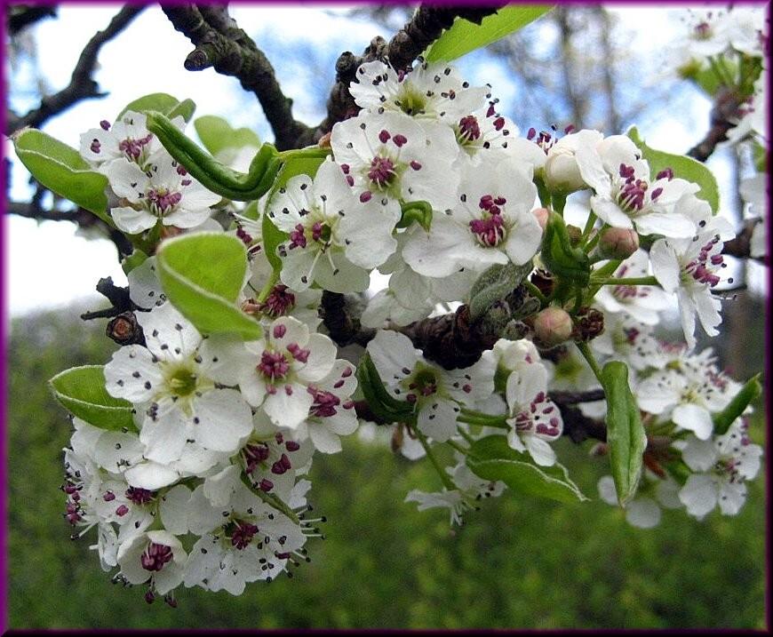 Baumblüten
