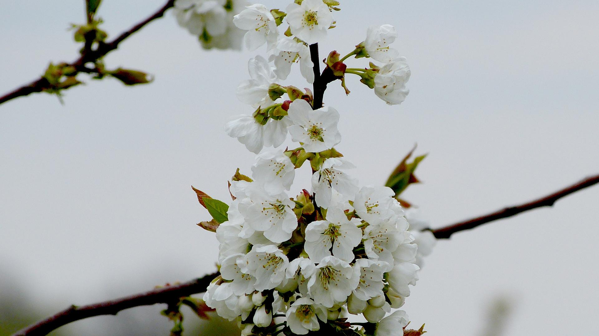 Baumblüten 5