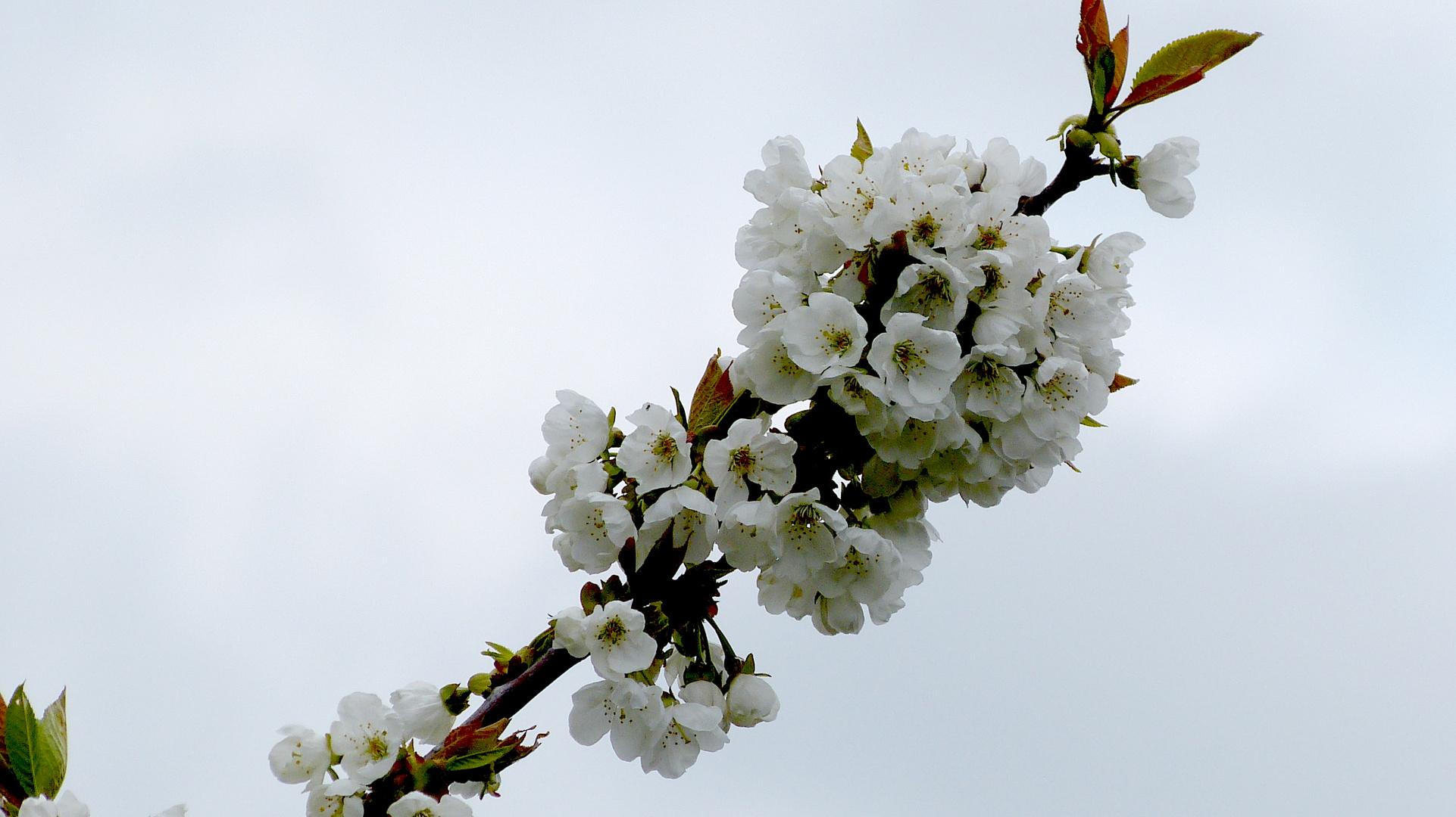 Baumblüten 6