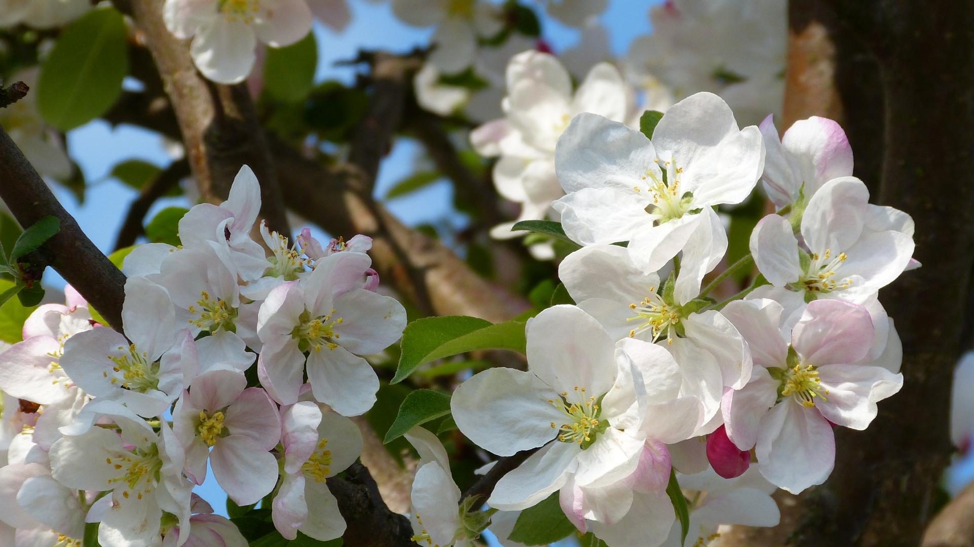 Baumblüten 8