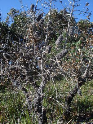 Baumbusch in Australien
