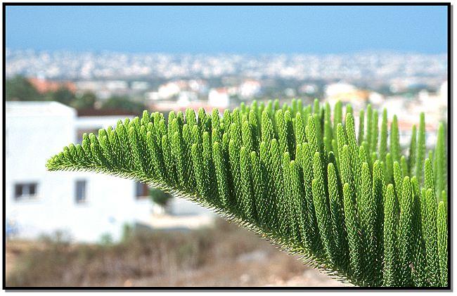 Baumdetail und Paphos im Hellen