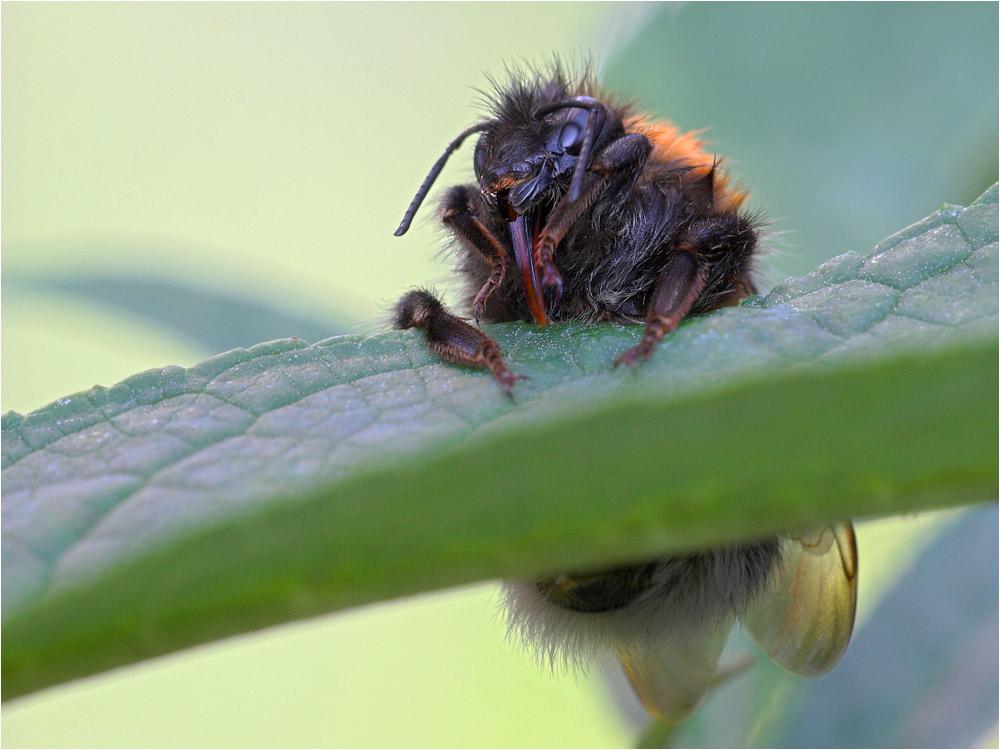 Baumel-Bumblebee