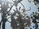 Baumen blüte 5