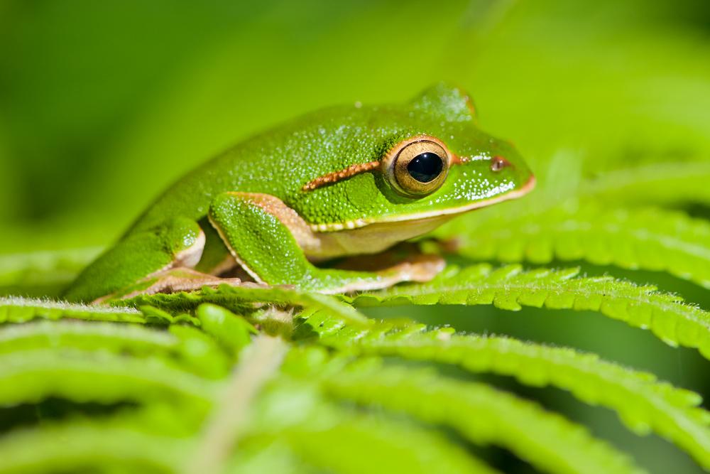 Baumfrösche in Taiwan III: Emerald Green Treefrog (Rhacophorus Prasinatus)