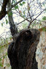 Baumgesichter - Das Klageweib