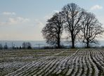 Baumgruppe am Feld