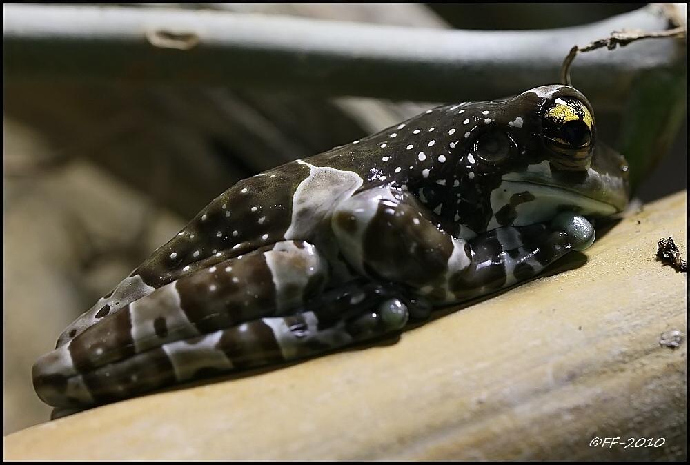 ... Baumhöhlen-Krötenlaubfrosch ...