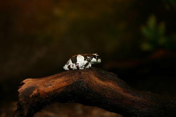 Baumhöhlen-Krötenlaubfrosch, Phrynohyas resinifictrix