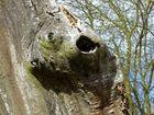 Baumkarpfen
