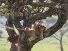 Baumlöwen in in der Serengeti