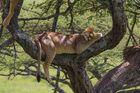Baumlöwen schläft