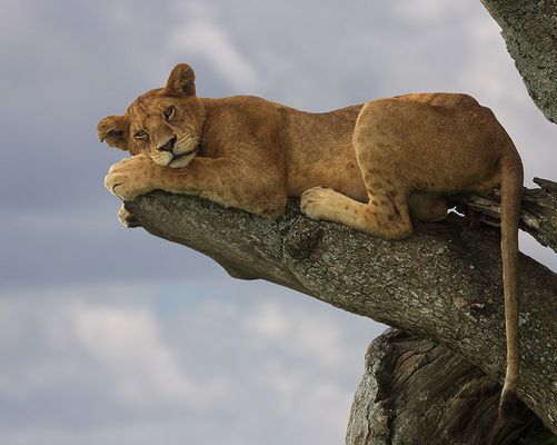 Baumlöwin in der Serengeti