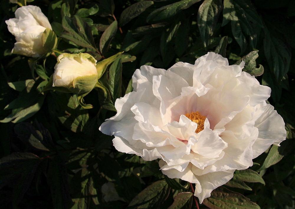 Baumpfingsrose (1)