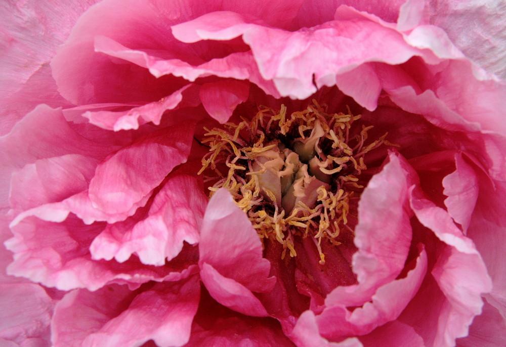 Baumpfingstrose (3)- rosa Wolke
