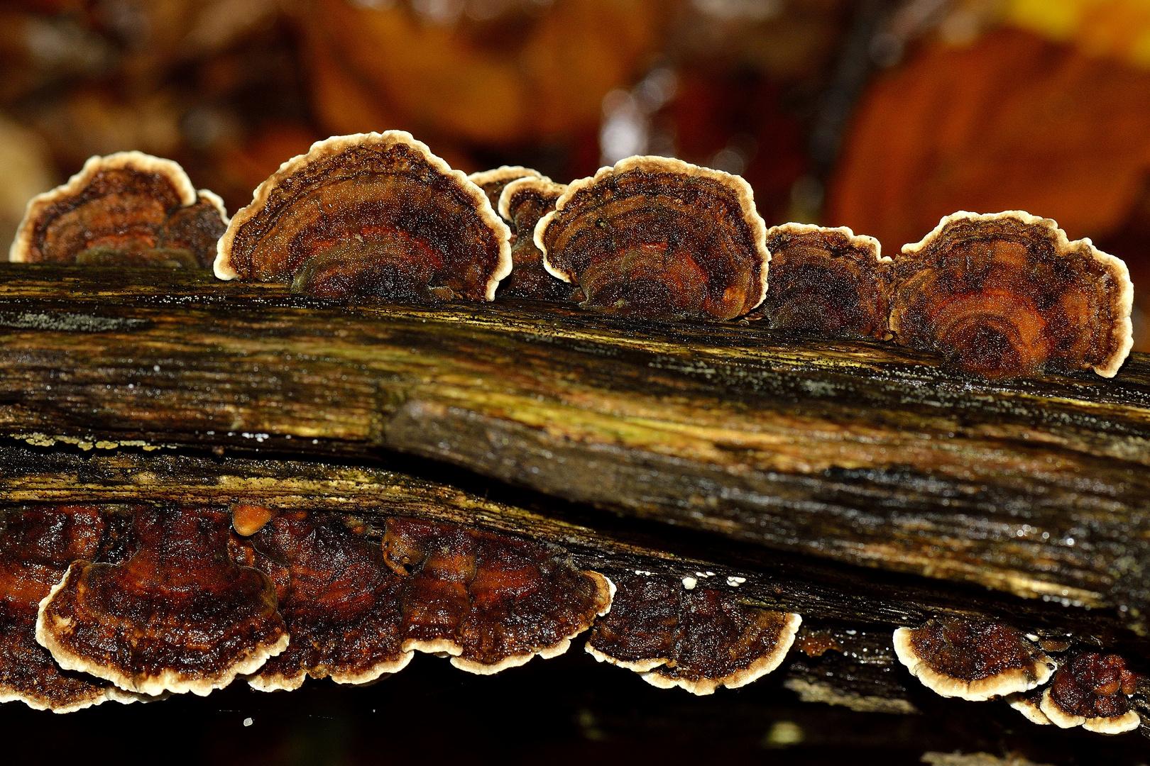 Baumpilz in Herbstfarben