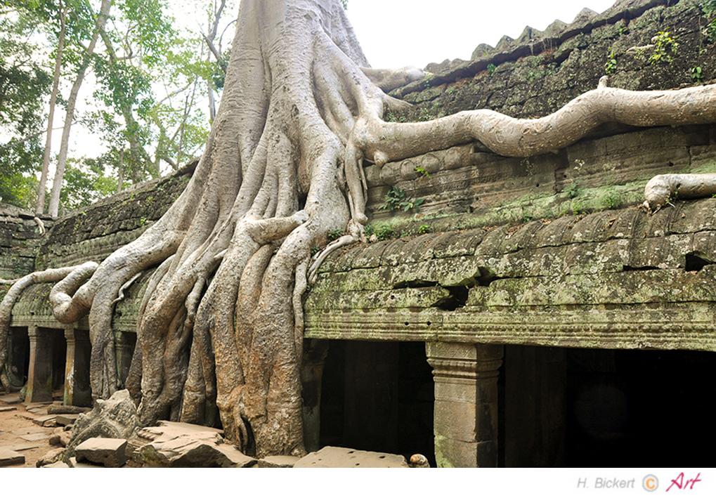 Baumriese in der Tempelanlage von Siem-Reap 02