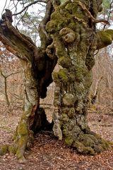 Baumriesen im Huthewald