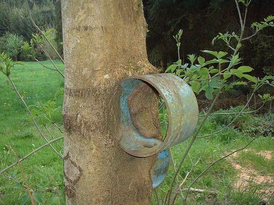 Baumrinde verschlingt Eisenrohr