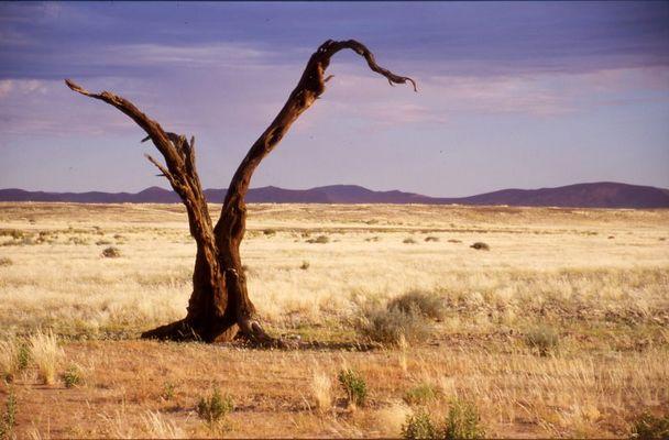 Baumruine in der Namib-Wüste 2