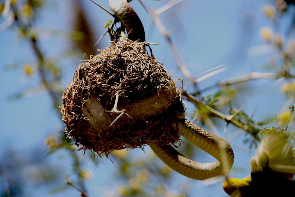Baumschlange als Eierdieb