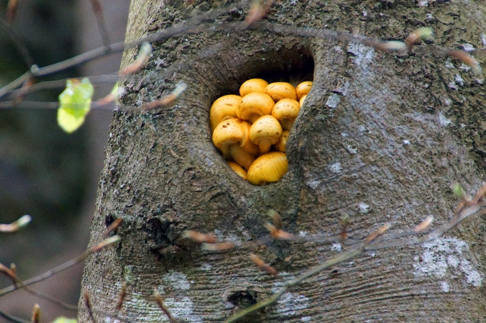 Baumschwammerl oder Schwammerlbaum