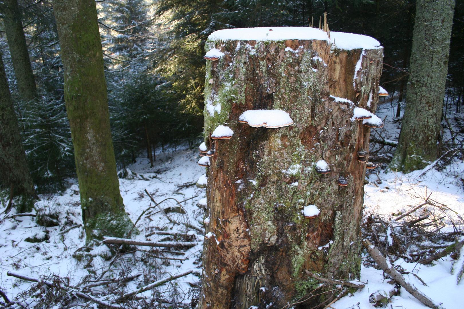 baumstamm pilze foto bild pflanzen pilze flechten pflanzen im winter schwarzwald bilder. Black Bedroom Furniture Sets. Home Design Ideas