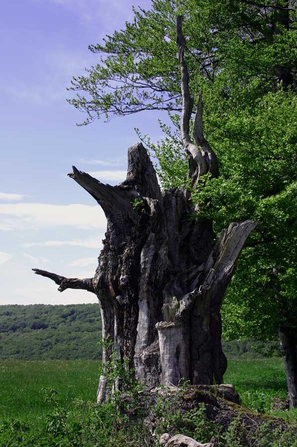 Baumstumpf am Hochrain bei Gertsengrund