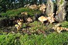 Baumstumpf voller grünblättriger Schwefelköpfe (Hypholoma fasciculare)