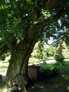Baumveteran auf dem Friedhof in Prerow