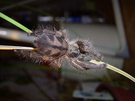 Baumvogelspinne