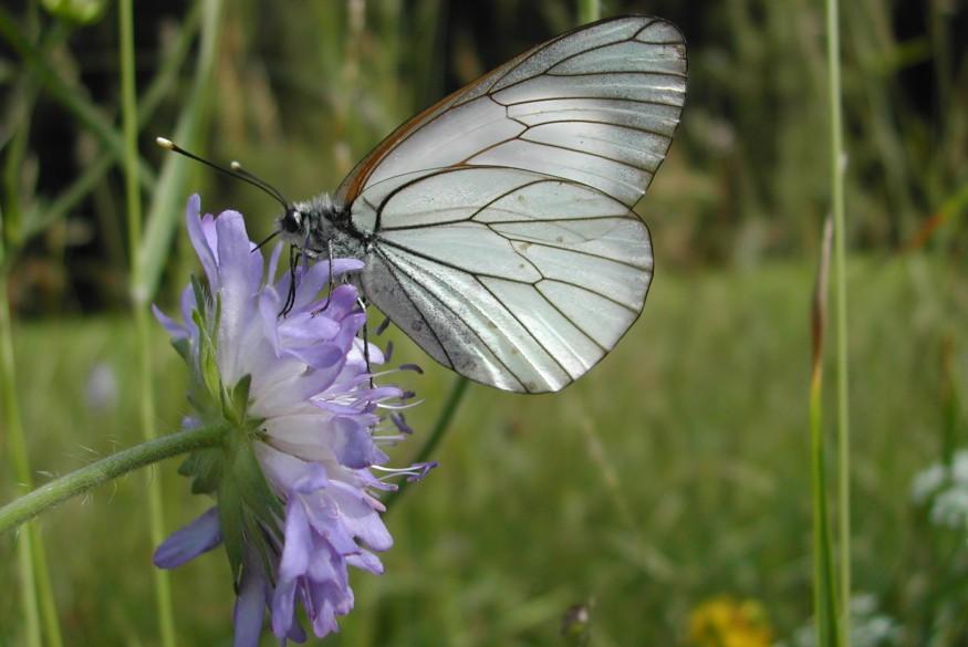 Baumweissling - - - Allgäu Schmetterlinge