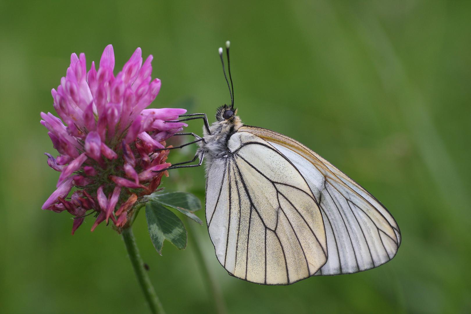 Baumweissling oder Black-veined White (Aporia crataegi)