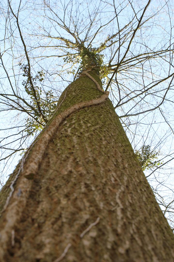 Baumwindungen