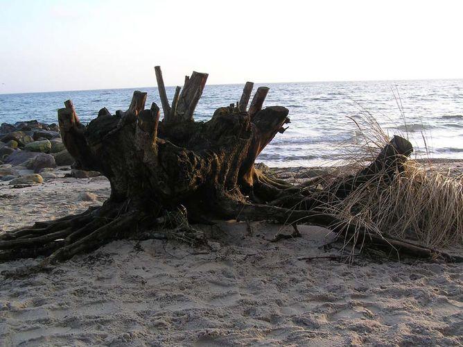 Baumwurzel am Strand