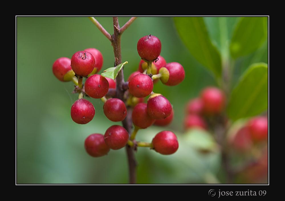 Bayas rojas de verano