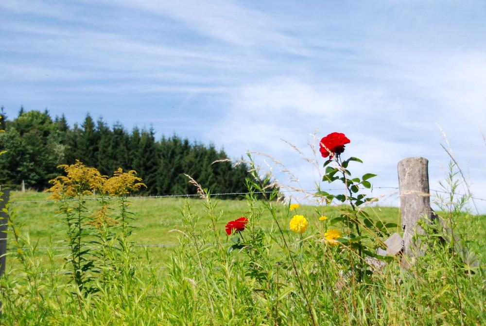 Bayrische Wildrose