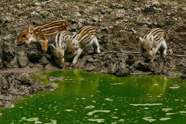 Bayrische-Wildsau-Babys - Frischlinge