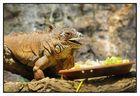 BCN 31 - Iguana común