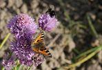 BEA: bitteren Schnittlauch für den süßen Schmetterling von anyii