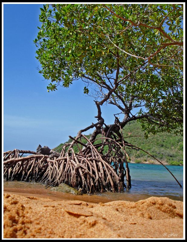 Beach with mangrove