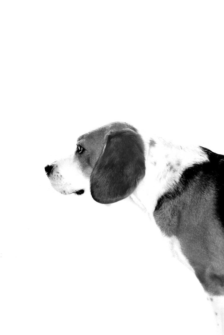 Beagle B.
