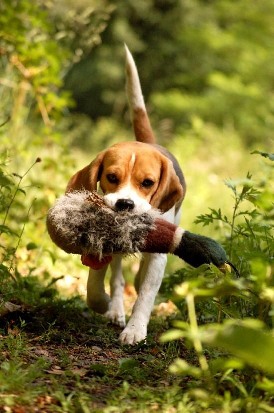 Beagle beim Apportieren