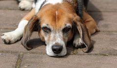 Beagle F