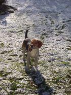 Beagle Laila
