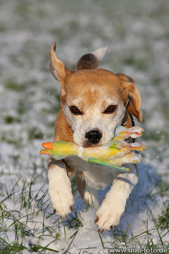 Beagle-Power