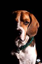 Beagle Sunny im Studio 02