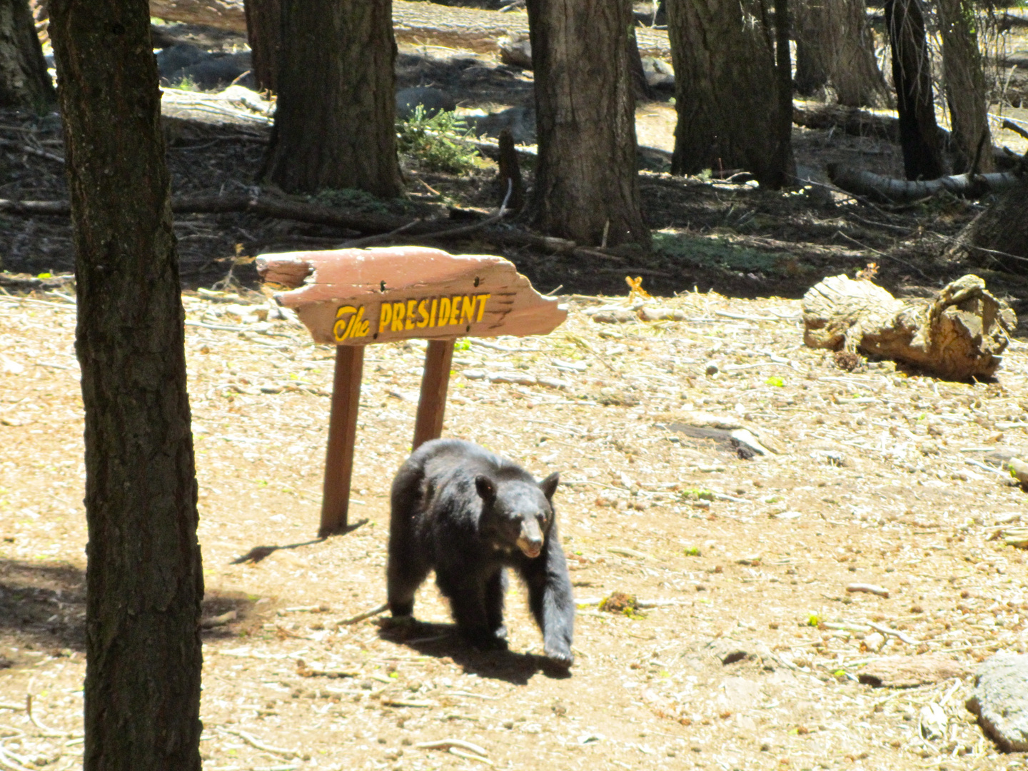 Bear Encounter in Sequoia National Park