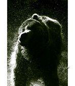 Bear VI