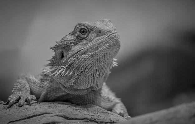Bearded dragon - BW